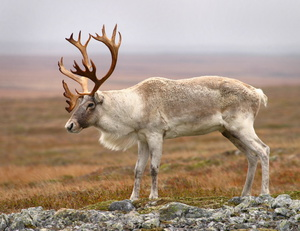 Места обитания северных оленей