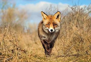 Обыкновенная лисица - повадки и места обитания