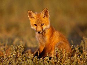 Обыкновенная лисица - особенности образа жизни