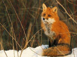 Лисица обыкновенная - размножение и длительность жизни