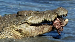 Питание гребнистого крокодила