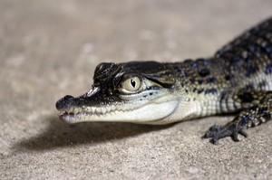 детеныш гребнистого крокодила