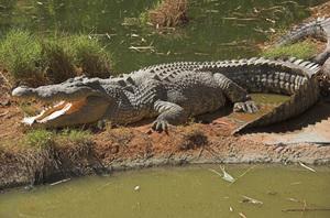 Особенности морского крокодила