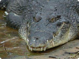Крокодил Гена на самом деле алигатор?