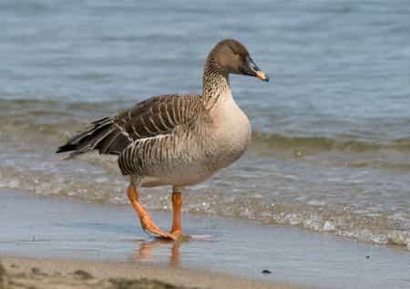 на какие виды гусей разрешена охота