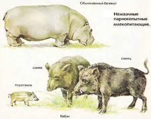 Пищеварительная система жвачных парнокопытных