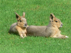 Заяц или кролик