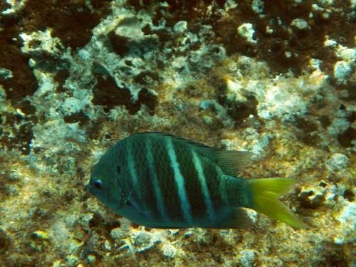 Тропическая рыбка абудефдуф пятнистый (желтохвостая рыба-сержант, Yellowtail sergeant) с полосатым телом и желтым хвостом на фоне камней и кораллов побережья островов Симилан