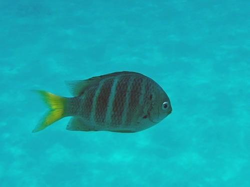Тропическая рыбка абудефдуф пятнистый (желтохвостая рыба-сержант, Yellowtail sergeant) с полосатым телом и желтым хвостом на фоне белого кораллового песка Андаманского моря у побережья островов Симилан