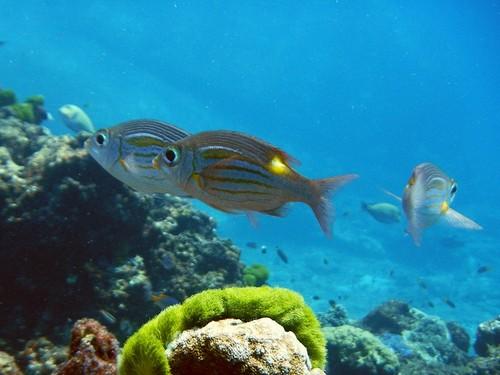 Стайка рыб Gnathodentex aureolineatus (золотопятнистый император, Striped large-eye bream) из семейства летрины над камнями и кораллами мелководья Андаманского моря у островов Симилан