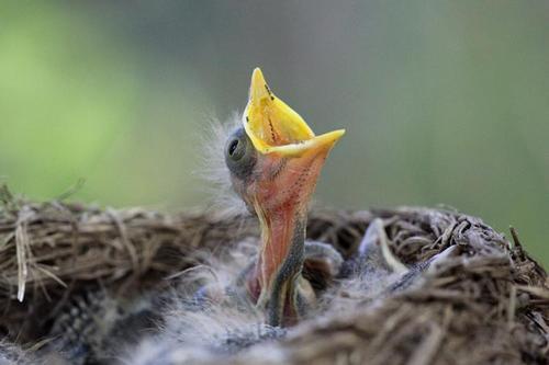 Певец. Раскрывши жёлтый клюв, птенец дрозда-белобровика (Turdus iliacus) в гнезде просит еду