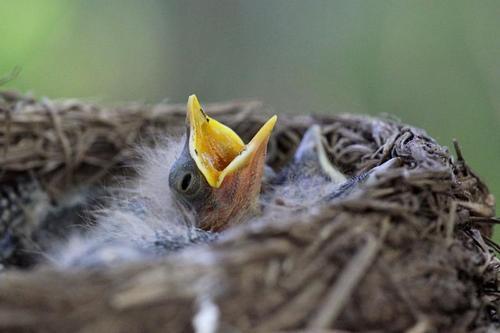 Раскрывши жёлтый клюв, птенец дрозда-белобровика (Turdus iliacus) в гнезде просит еду