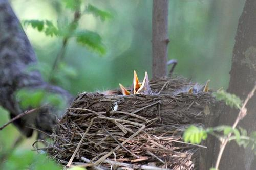 Птенцы дрозда-белобровика (Turdus iliacus) в гнезде, только клювы торчат наружу