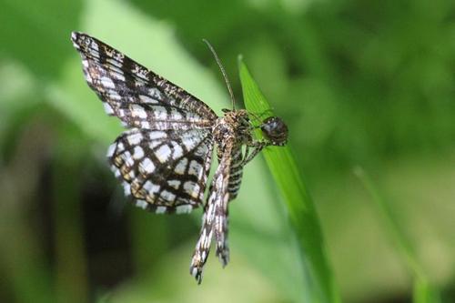 Пяденица клеверная, Пяденица решетчатая (Chiasmia clathrata, Semiothisa clathrata) - некрупная бабочка с черно-белым сетчатым (решётчатым) рисунком на крыльях