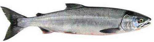 Рыба кета: описание, фото, рецепты