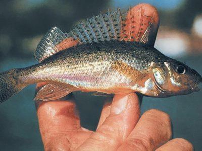 Рыболовный рассказ о ловле ерша