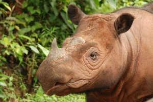 Суматранских белых носорогов осталось очень мало, а в неволе они не размножаются
