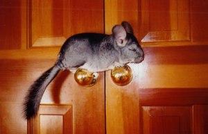 Шиншилла на двери