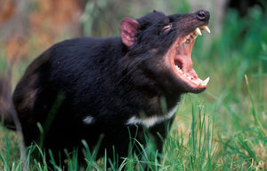 Внешний вид тасманского дьявола