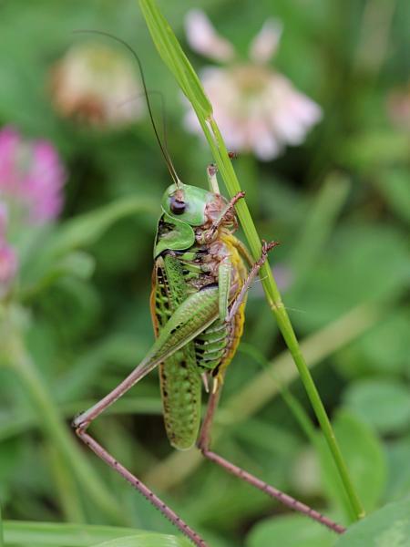 Кузнечик серый, или пёстрый (лат. Decticus verrucivorus) - крупное насекомое («саранча») с зелёным панцирем, длинными крыльями, серыми лапами и жёлтым пузом, самец без сабли