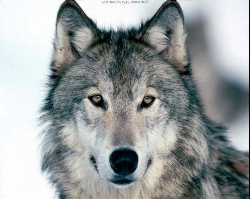 Волк История на охоте