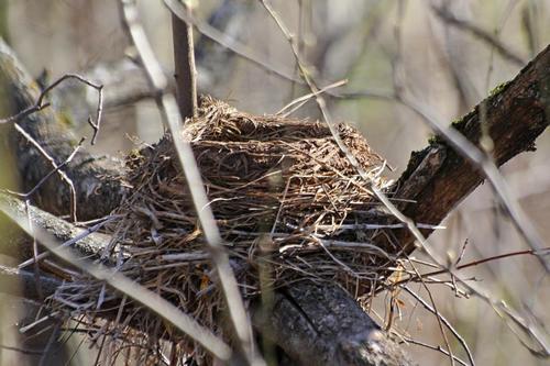 Гнездо дрозда-белобровика (Turdus iliacus) на ветке дерева из травинок, скрепленное сверху глиной
