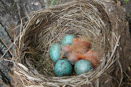 гнездо с голубовато-зелёными яйцами и недавно вылупившимися птенцами дрозда-белобровика (Turdus iliacus)