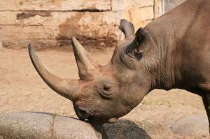 Рога носорога