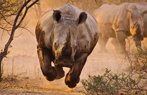 Разъяренный носорог