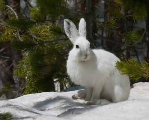 Заяц беляк - где обитает