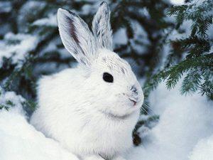Заяц беляк в дикой природе