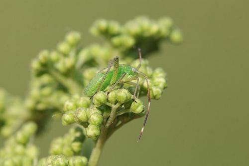 Нимфа (молодое неполовозрелое насекомое) клопа из семейства слепняков (Miridae) зелёного цвета с хоботком, удлинёнными задними лапами, волосками на теле, длинными усами и зачатками крыльев