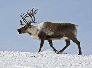 Арктический северный олень