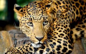 Леопард в Южной Америке - образ жизни