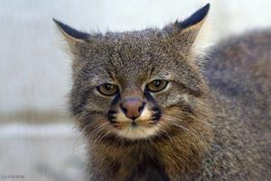 Пампасская кошка - внешний вид