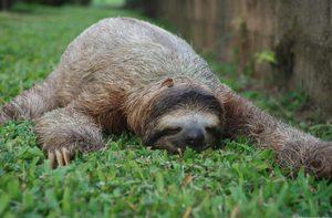 Ленивец в дикой природе и как домашний любимец