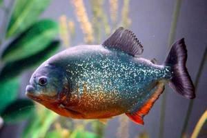 Рыба пиранья - маленькие прожорливые хтщники