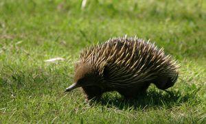 Ехидна-животные Австралии