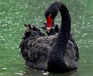 Черный лебедь в Австралии