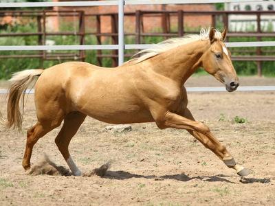 Ахалтекинская порода лошадей, описание породы