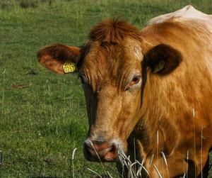 Как лечить кетоз у коровы