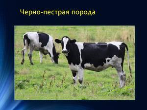 Преимущества содержания молочных пород