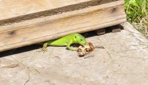 Чем питаются ящерицы в природе