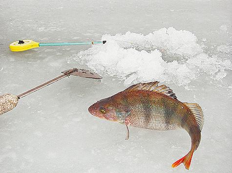 Окунь первая рыба зимы
