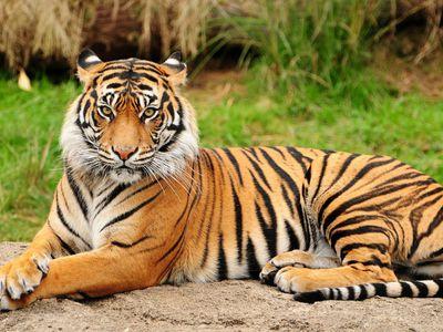 Амурский тигр огромная кошка со страниц Красной книги