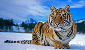 Сибирский тигр зимой
