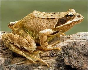 Где живет травяная лягушка