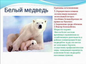 Описание хищника белого медведя