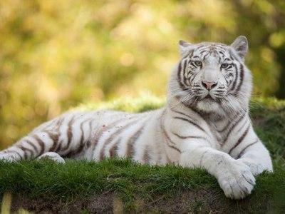 Белый тигр – экзотическое животное