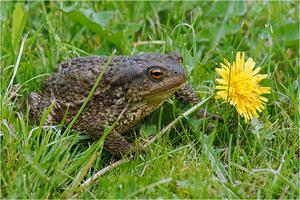 Описание серой жабы